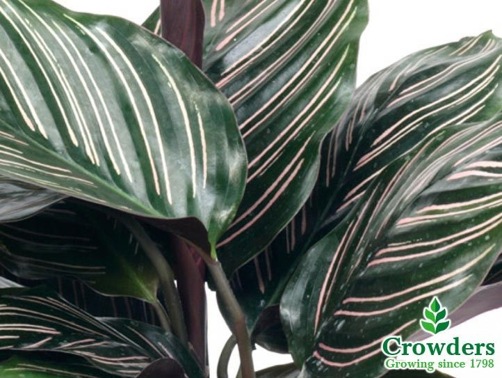 Image Result For Buy Large Striped Calathea Uk House Plants