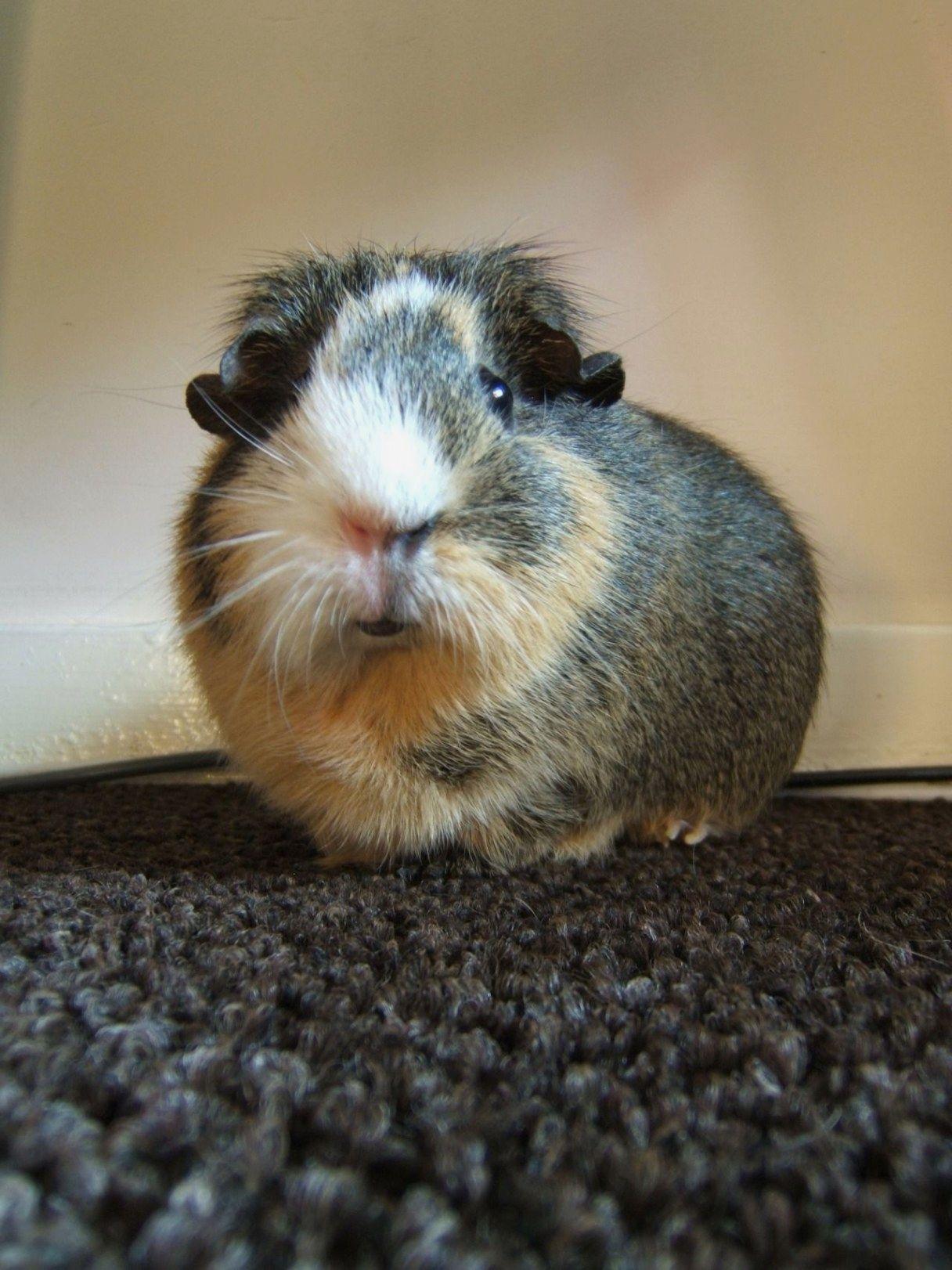 Contented piggy guineapiggy (mit Bildern