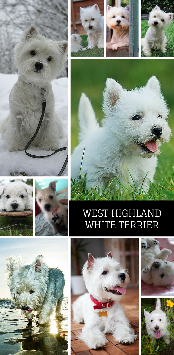The West Highland White Terrier Aka Westie Breed Has Soared To The Top Of Our Most Popular Dog Breeds Of With Images Most Popular Dog Breeds Top Dog Breeds Dog Breeds