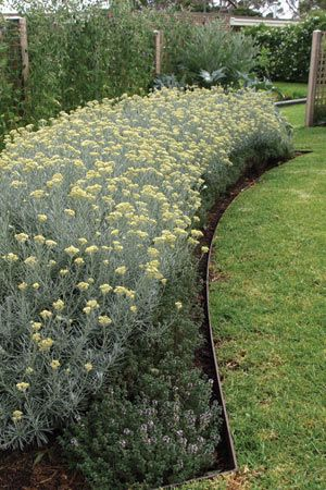 Curry Plant- Helichrysum italicum. Full sun and well-drained soil. 16 inches tall and 30 inches wide. Zones: 8-10