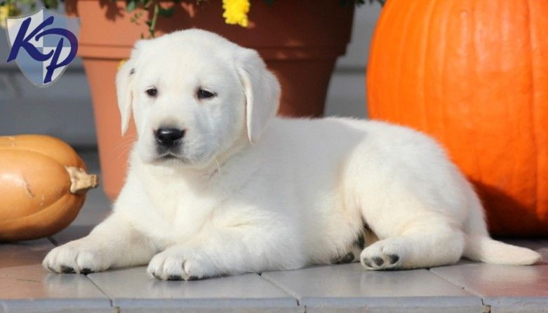 Puppy Finder Find Buy A Dog Today By Using Our Petfinder Golden Labrador Puppies Labrador Puppies For Sale Labrador Dog