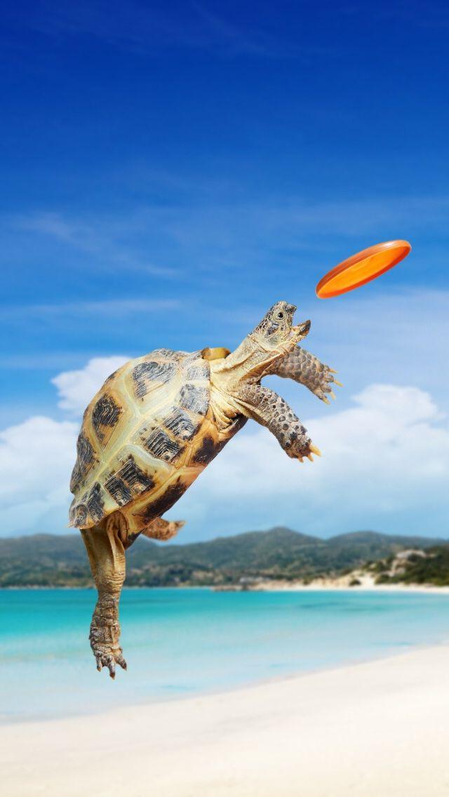 Tortoise Frisbee iPhone 5s wallpaper Turtle, Cute