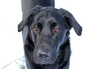 Äärimmäisten ulkomuotojen tavoittelu jalostuksessa aiheuttaa koirille niiden elämää haittaavia rakennevikoja ja perinnöllisiä sairauksia.