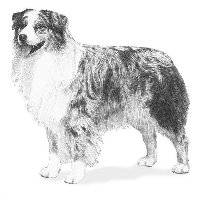 Australian Shepherd Dog Breed Information Australian Shepherd