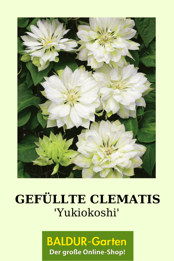 Gefullte Clematis Yukiokoshi Top Qualitat Baldur Garten Clematis Kletterpflanzen Pflanzen