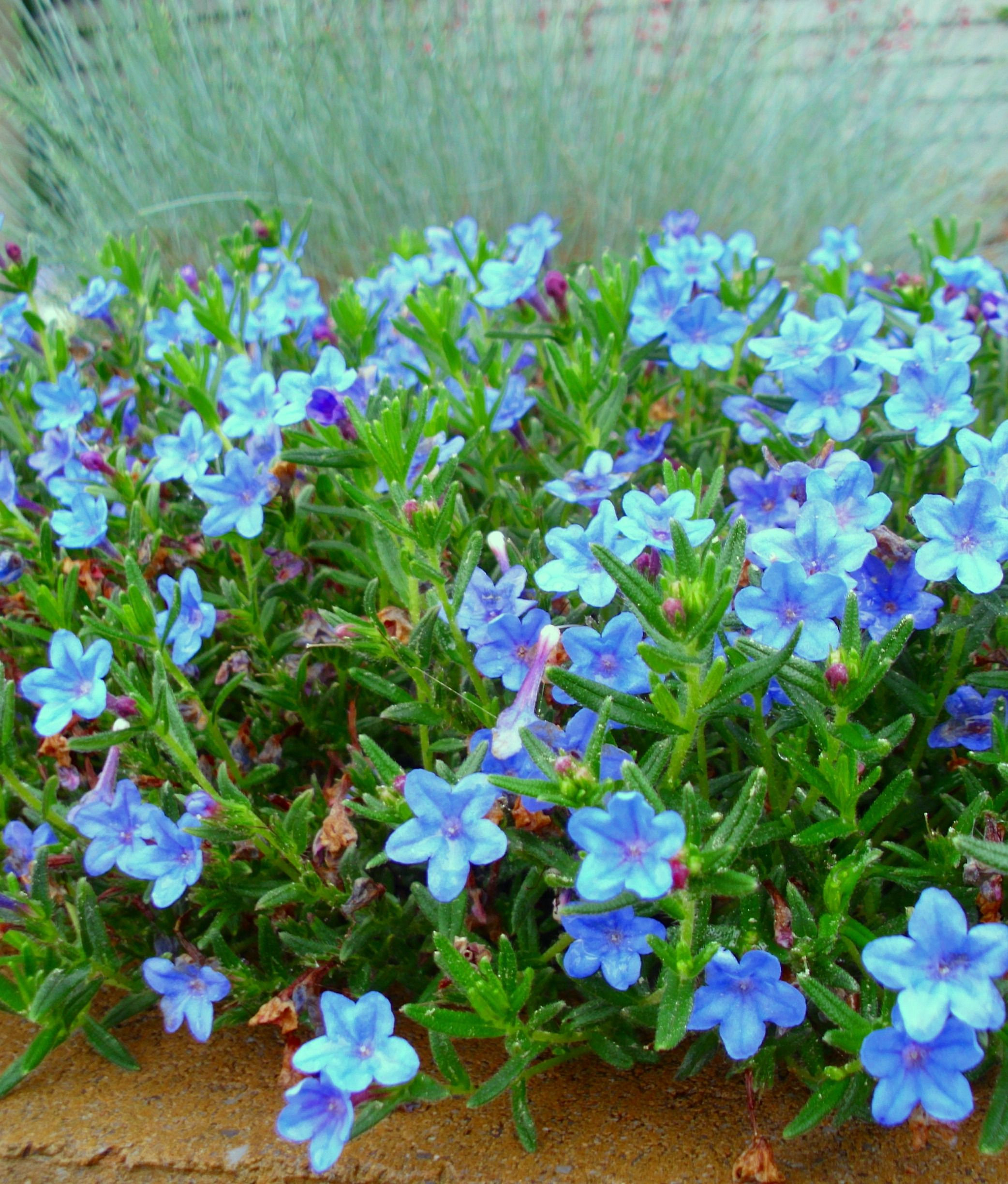 Blue perennial flowers try lithodora an update perennial blue perennial flowers try lithodora an update one year later izmirmasajfo