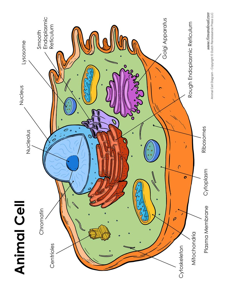 animalcelldiagram.jpg 927×1,200 pixels Cell diagram