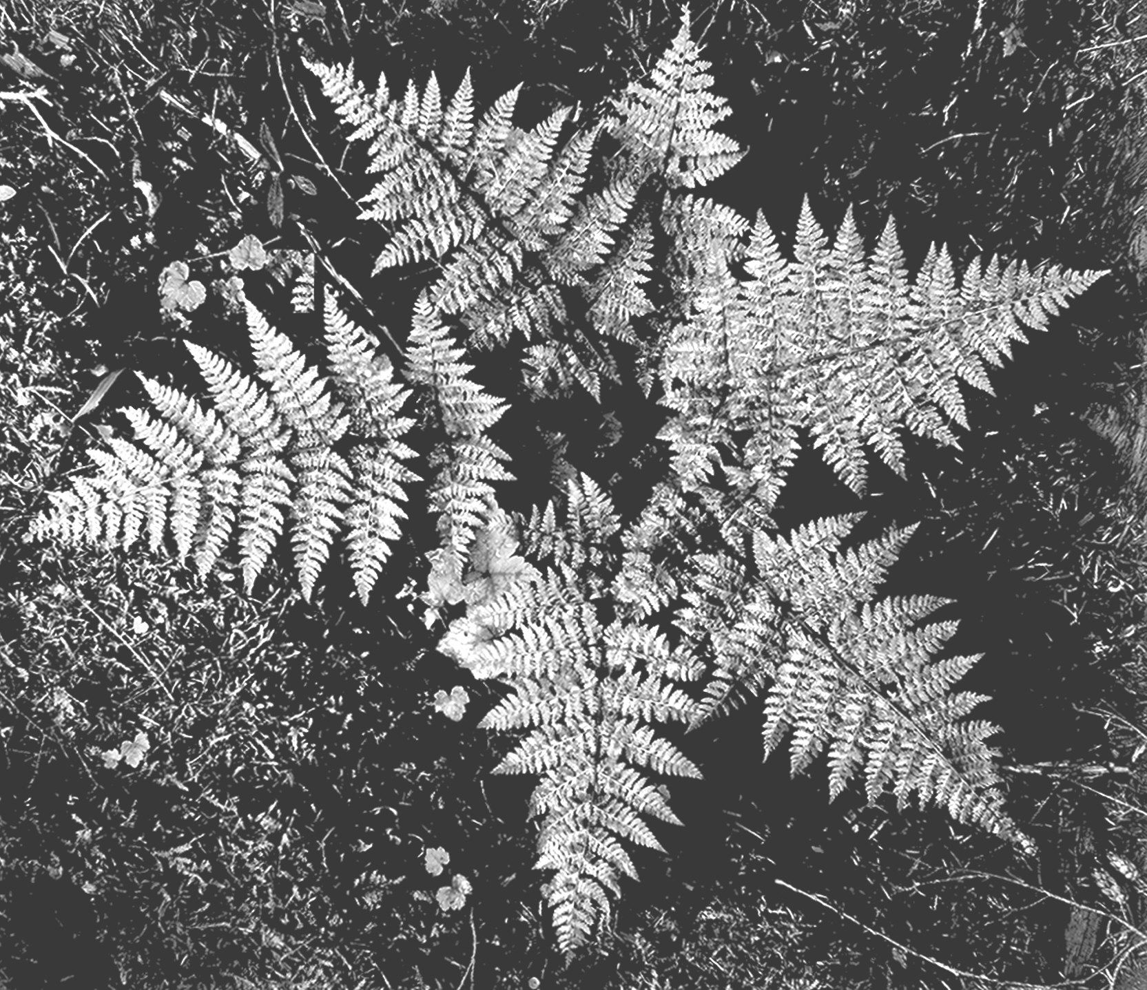 In glacier national park close up of ferns from for Ansel adams the mural project posters