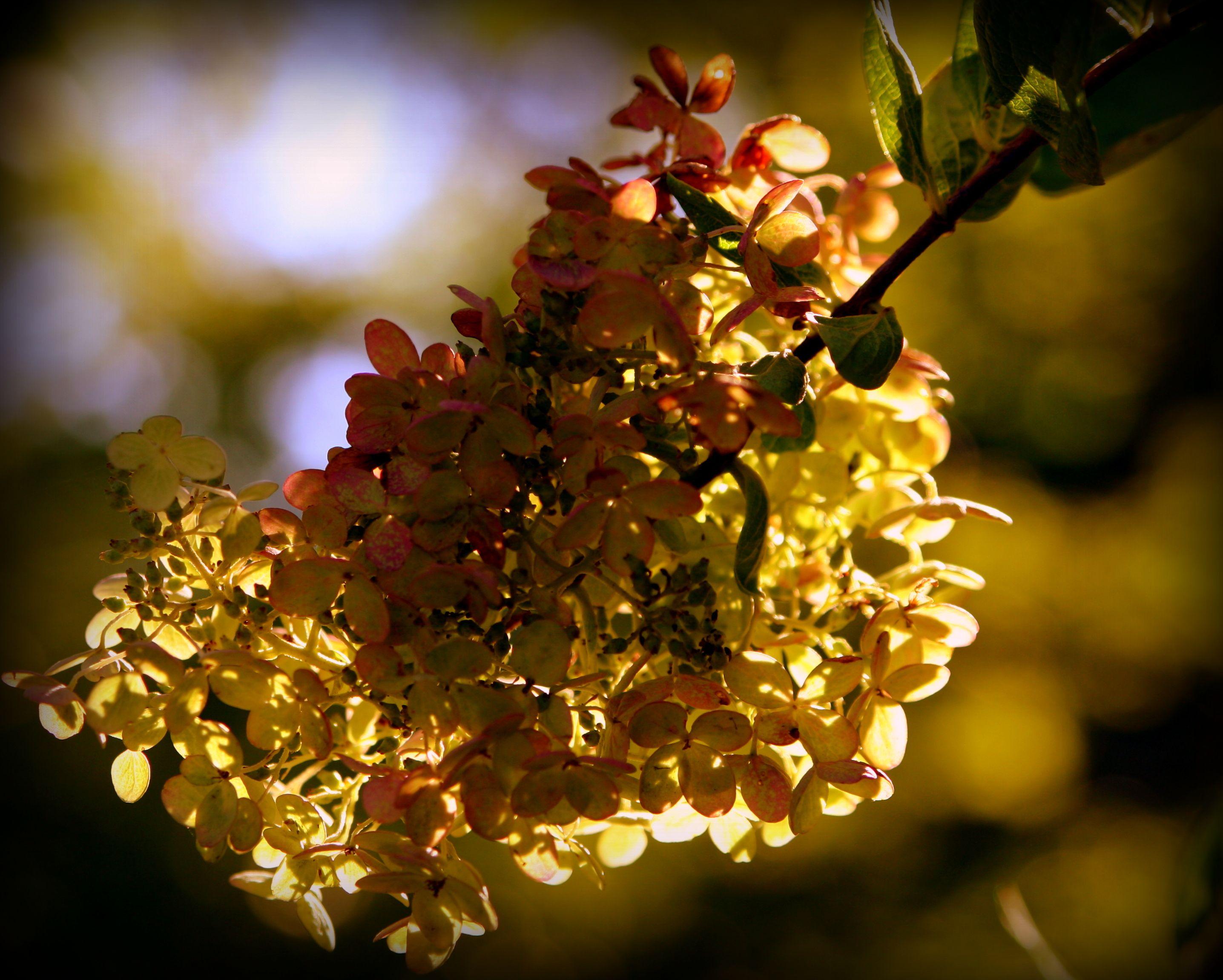 Hydrangea in sunlight hydrangea grapes fruit