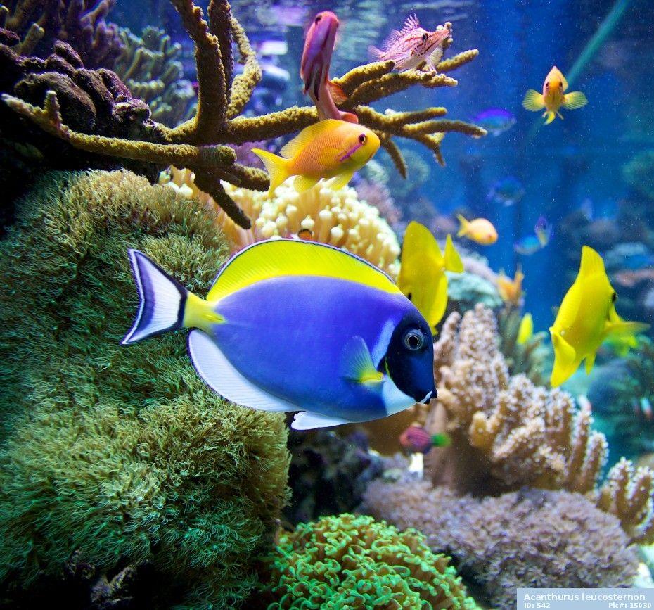 Powder Blue Tang Blue Tang Fish Fish Under The Sea Ocean Creatures