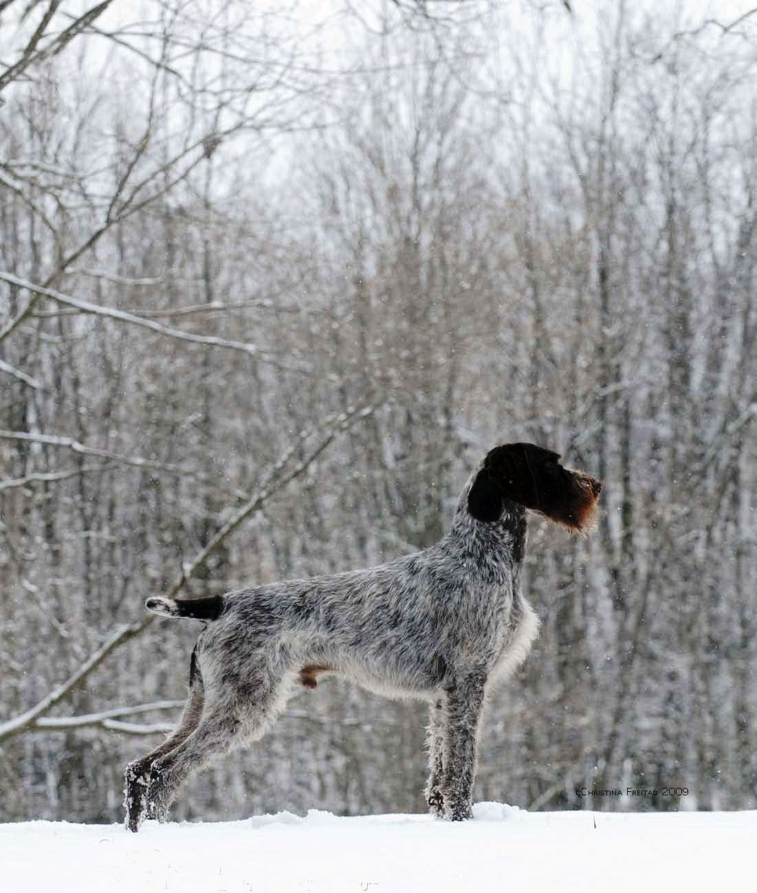 If I ever start to hunt, German Pointer could be my first choice for ...