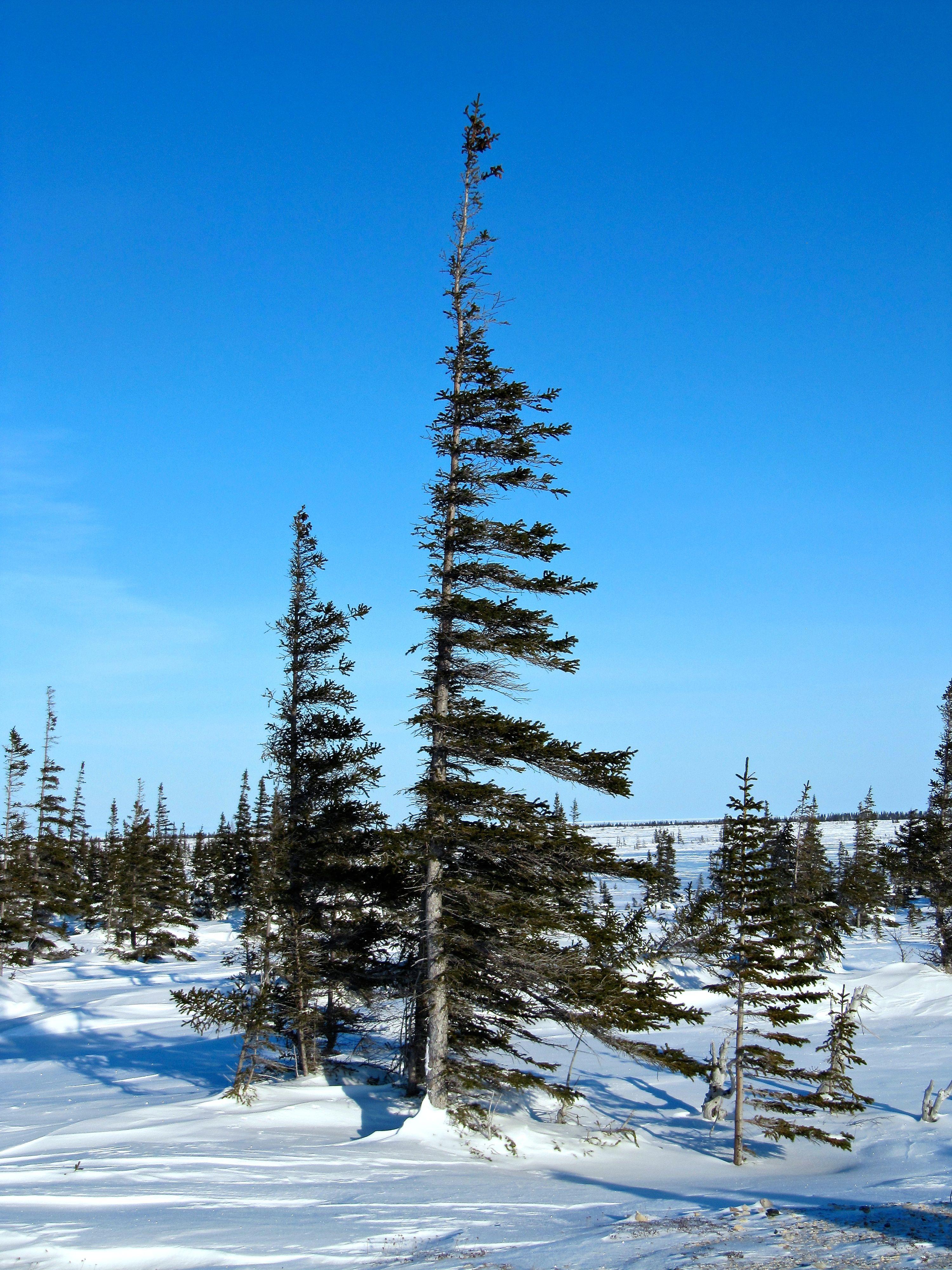 Flag trees Tundra, Biomes, Habitats