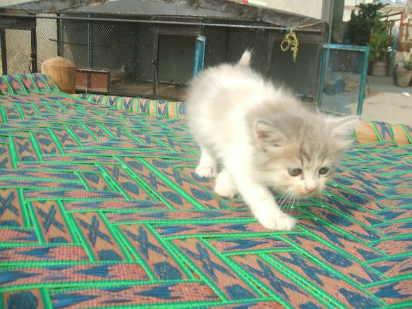 Post Free Classified Ads Pakistan Pure Persian Home Breed Kittens For Sale Kitten For Sale Pets For Sale Animals