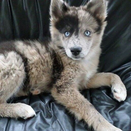 Gorgeous Blue Eyed Australian Shepherd And Husky Mix Snapchat