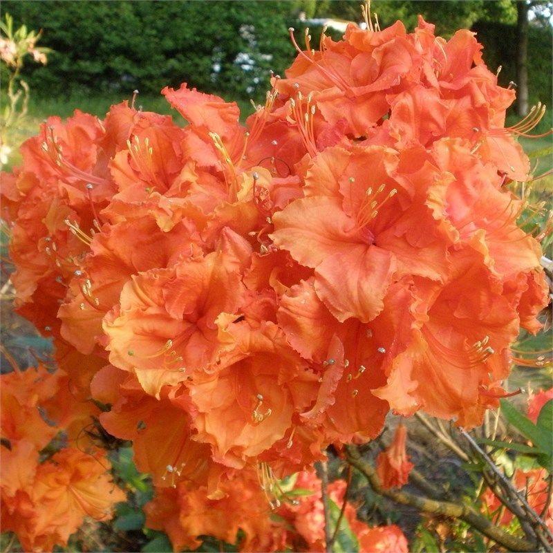 R 039 Gibraltar 039 Deciduous Azalea Liner Starter Plant Ebay Plants Shade Flowers Spring Blooming Flowers