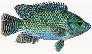 Pemancingan Mujair Teknik Memancing Ikan Mujair Umpan Ikan Mujair Danau Umpan Ikan Mujair Di Empang Umpan Ikan Mujair Di Sungai Umpan Ika Ikan Habitat Binatang