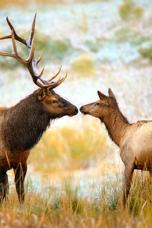 """Nose to Nose,"" by Steve Perry. This is slightly irrelevant to the rest of this board, but it's been my dream to someday go and hunt Rocky Mountain Elk. They are so beautiful."