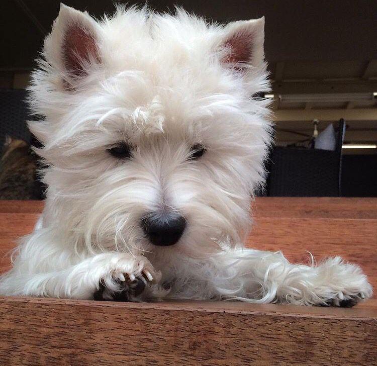 Pin By Cindy Tilden On Westie Love In 2020 Westie Puppies West Highland Terrier Westie Terrier