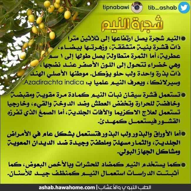 شجرة النيم Herbs Health Azadirachta Indica