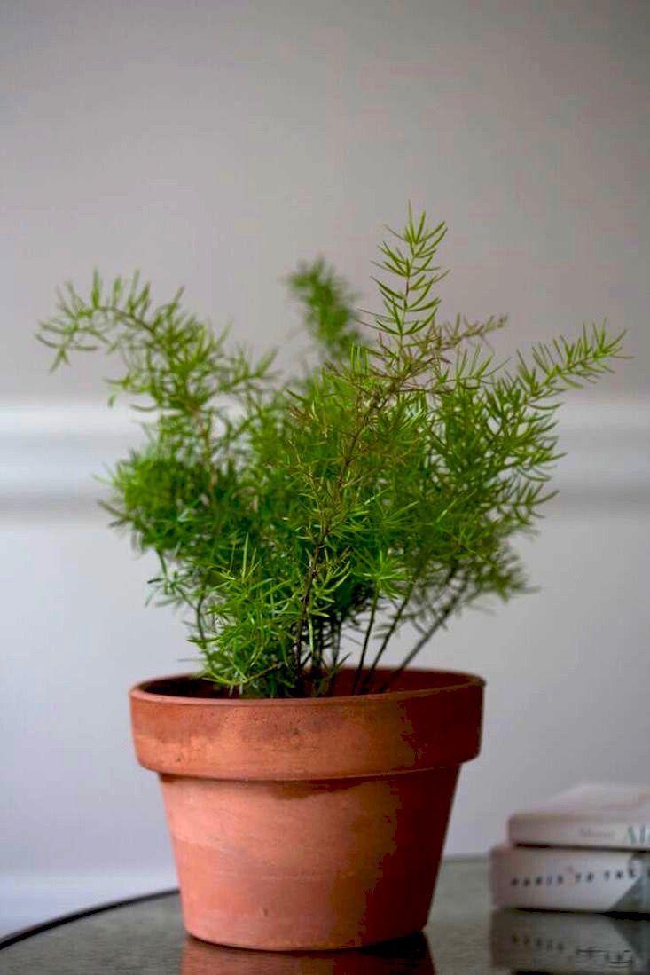 Asparagus Fern Low Light Houseplant By Mimi Giboin