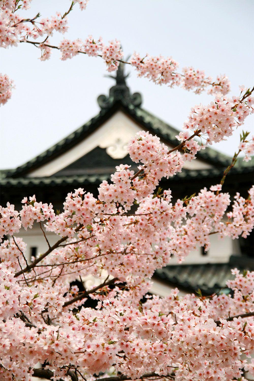 Cherry Blossoms At Hirosaki Castle Cherry Blossom Blossom Hirosaki