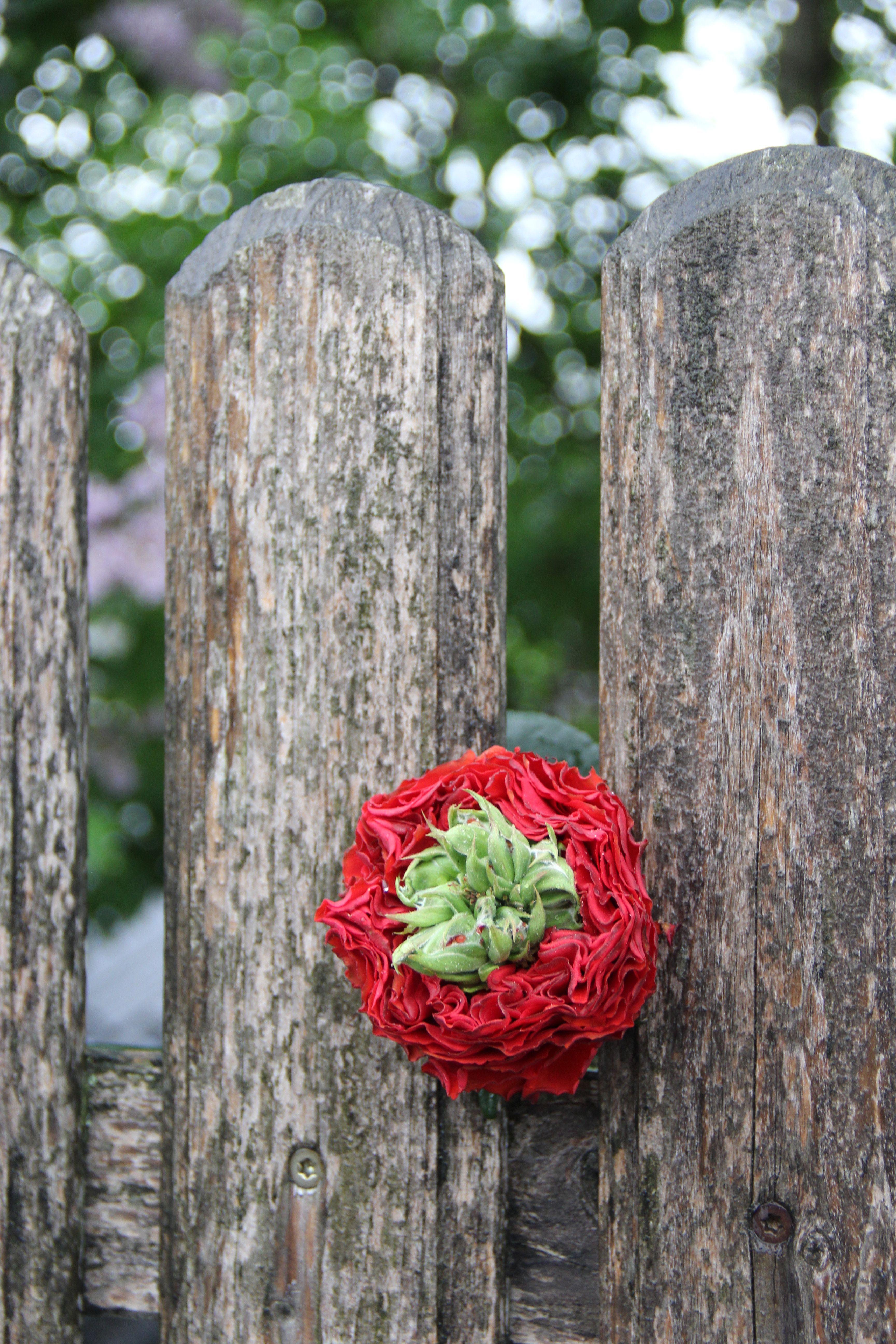 rote garden rose mit wundervollem grünen herz  rote