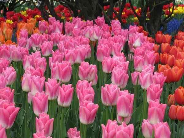 Tulip festival In Washington