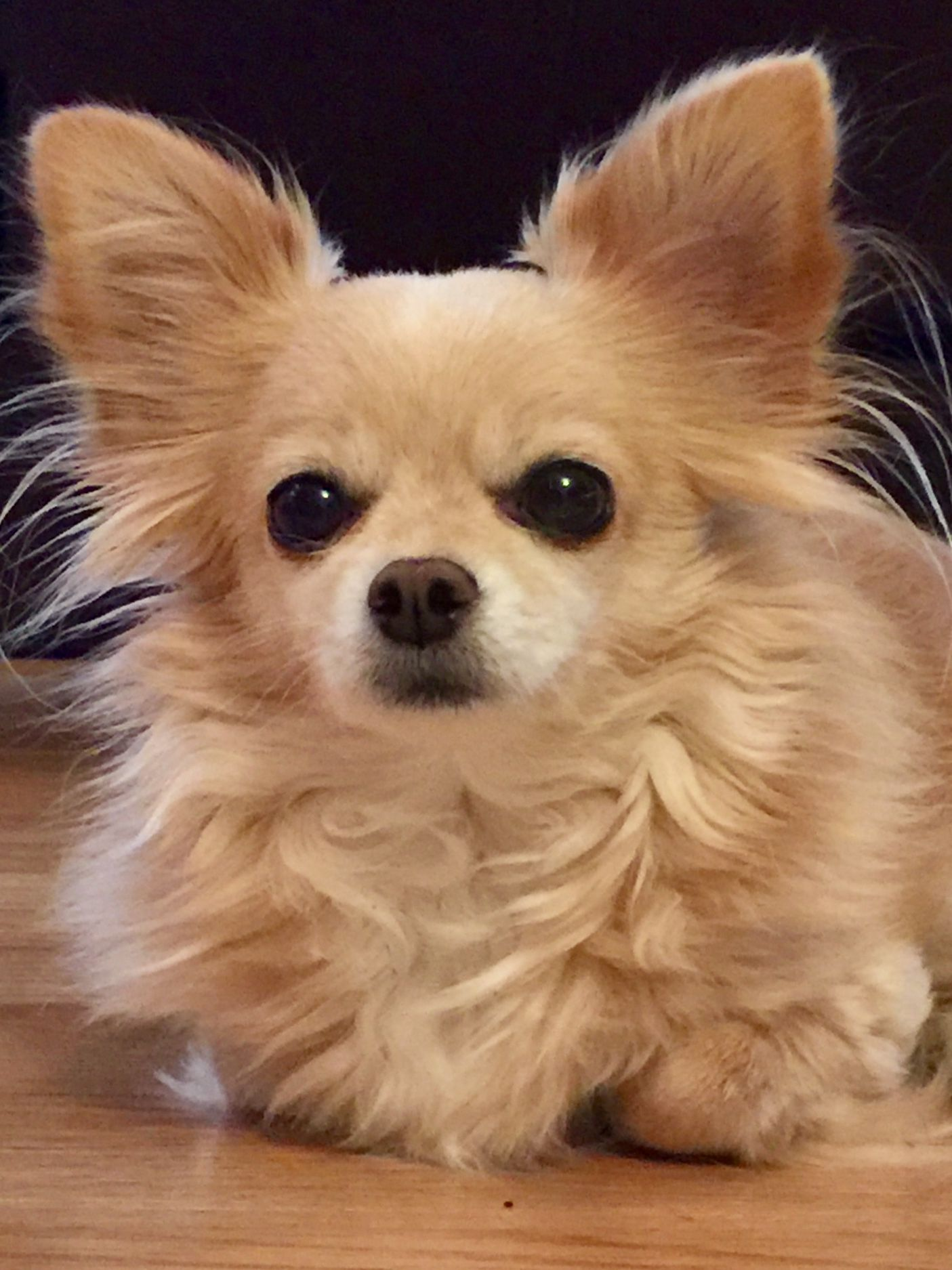 Beautiful Charm Long Haired Chihuahua Chihuahua Dogs Baby