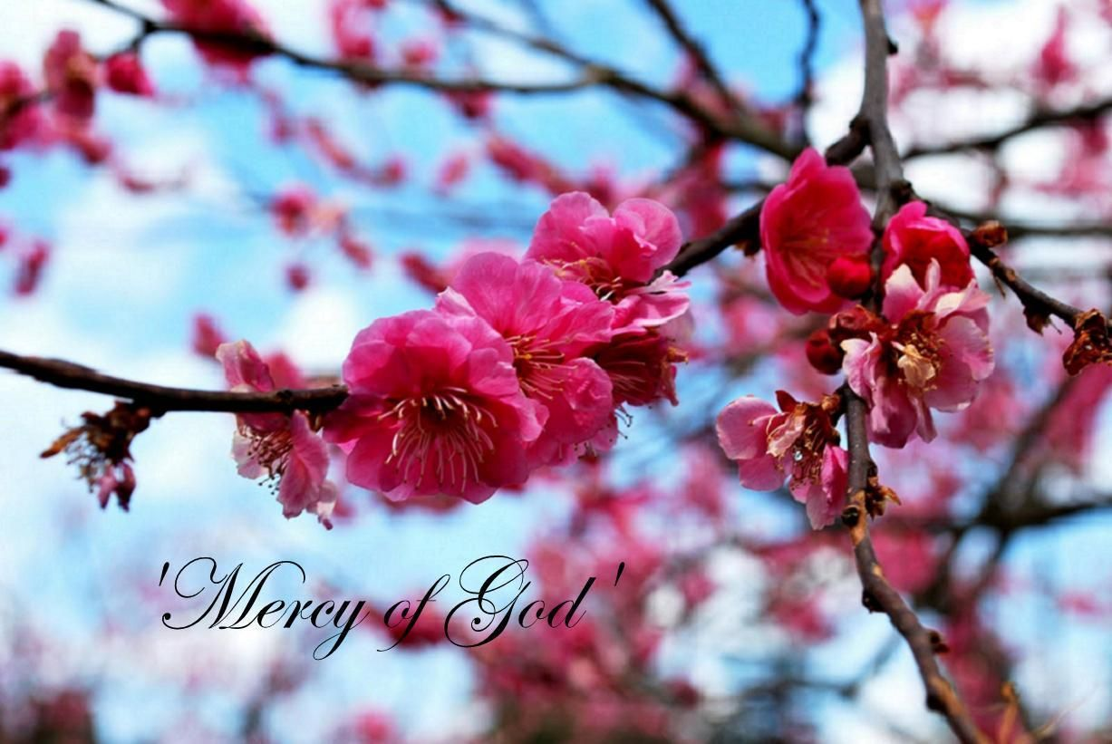 Not Getting What You Deserve So What Understanding Your Role In The Mercy Of God And His Mission Cherry Blossom Festival Japanese Cherry Tree Cherry Blossom Tree