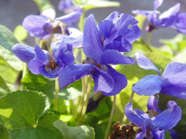 Fiolek Wonny Koenigin Charlotte Lac Viola Odorata Kod 0292 Flowers Plants Beautiful