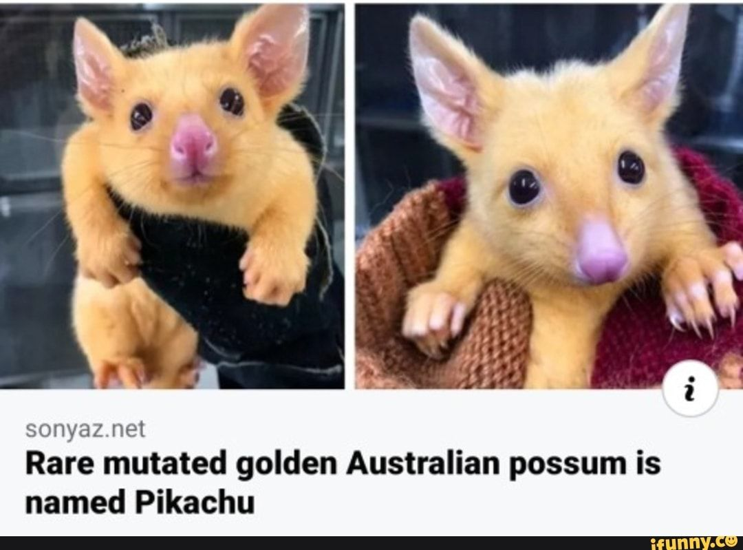 Sonyaz Net Rare Mutated Golden Australian Possum Is Named Pikachu Ifunny In 2020 Australian Possum Baby Possum Work With Animals