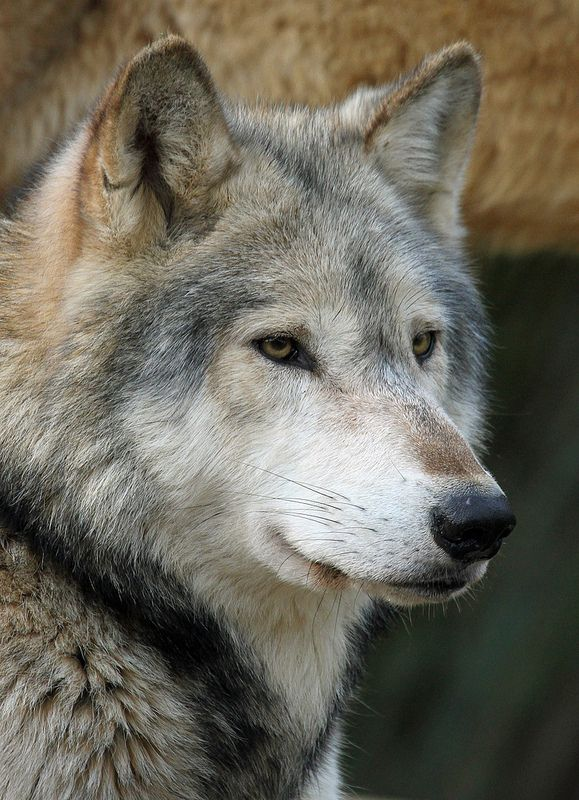 Timber Wolf | by Buggers1962