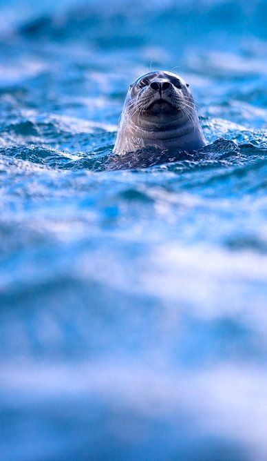 Hello!.. Grey Seal (by mescamesh)