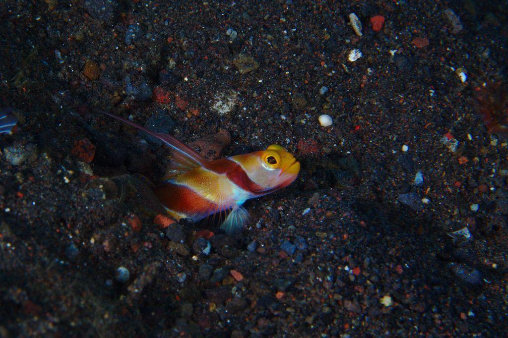 Shrimp Goby Family Pet Fish Pet Pet Training