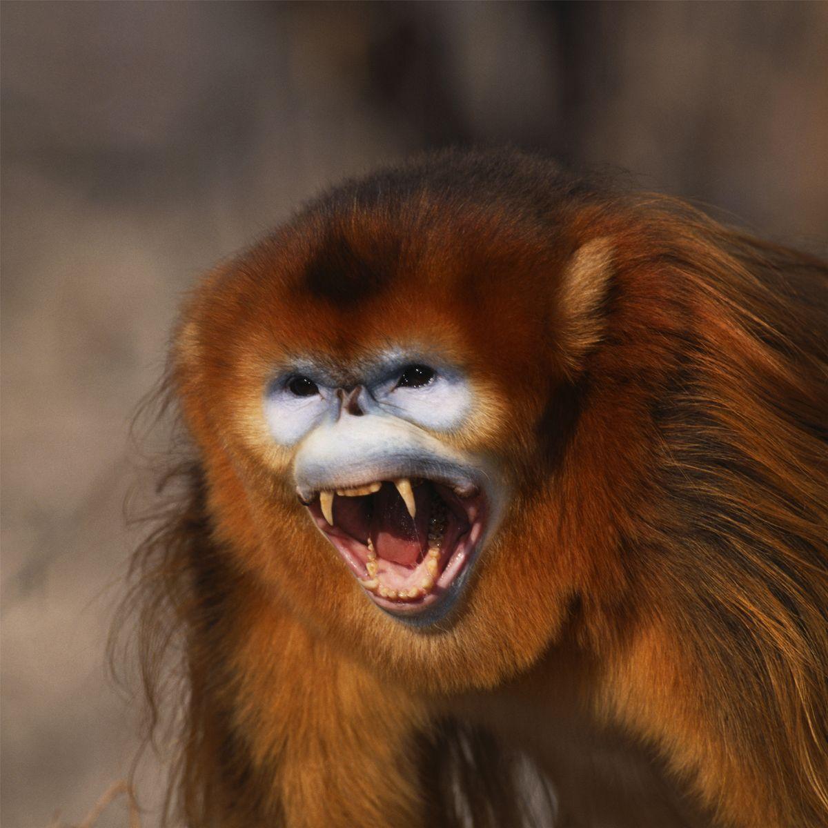 Golden Snub-Nosed Monkey (Rhinopithecus roxellana) | about animals