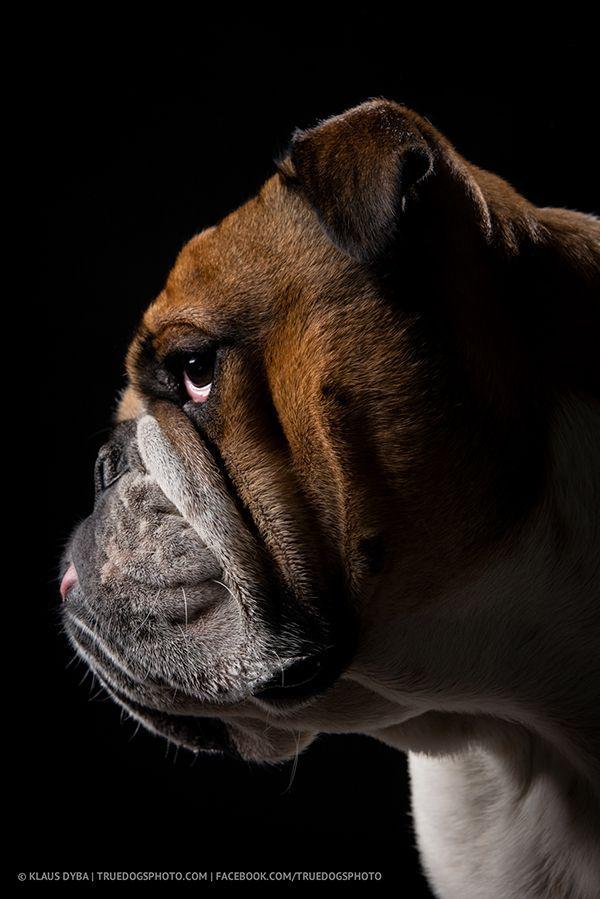English Bulldog Bulldog Cute English Bulldog Puppy Bulldog Lovers British Bulldog Bulldog Lovers Englische Bulldogge Bulldogge Hunde
