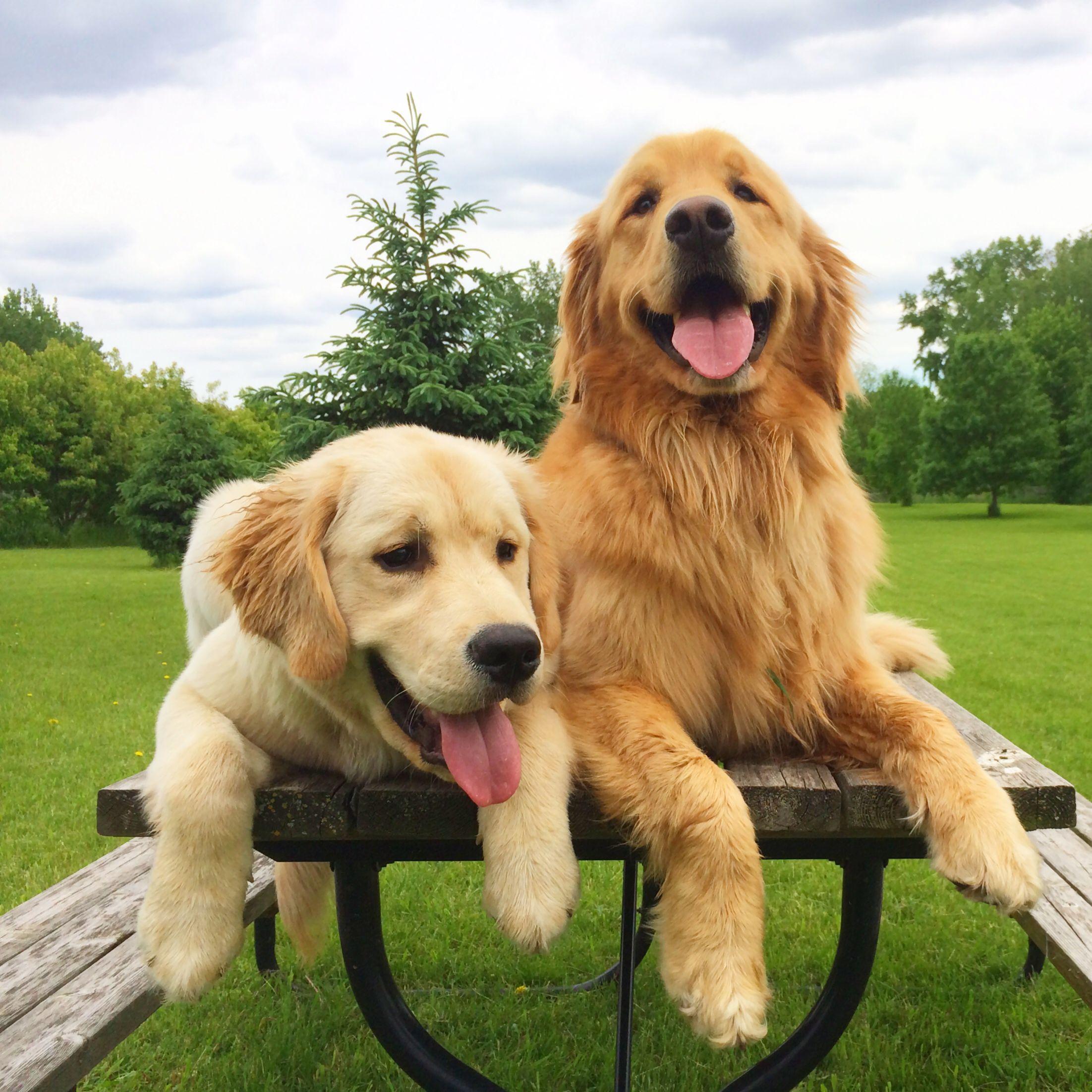 Picnic Time Dogs Golden Retriever Dog Breeds Dogs