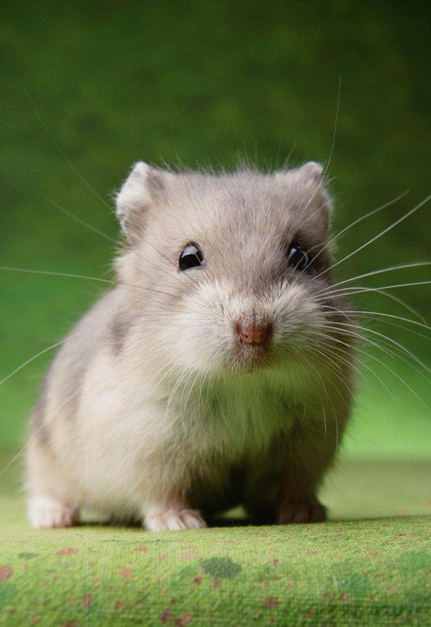 12 Hamster Pictures That Prove How Cute They Actually Are