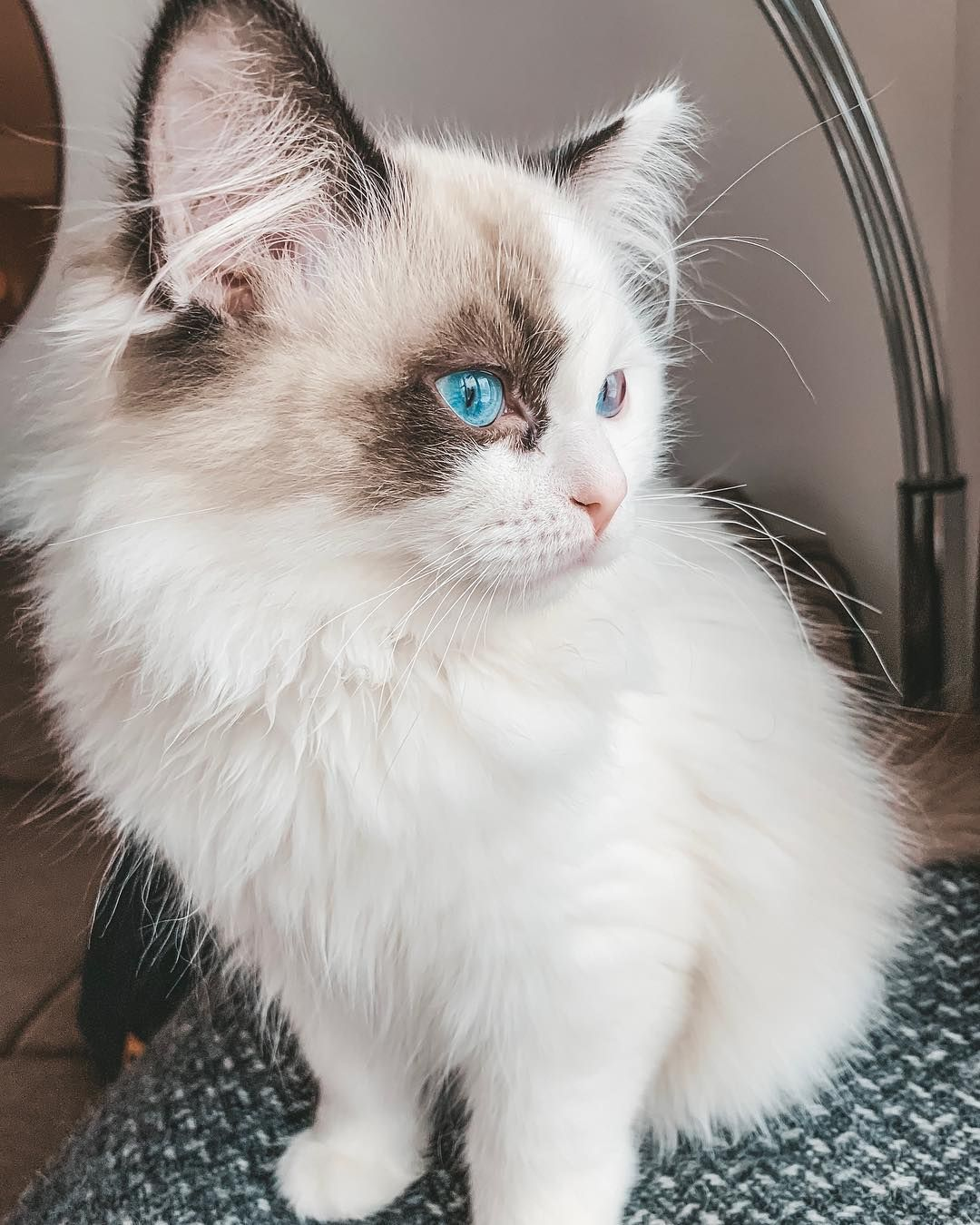 FRIYÄY friyay Ragdoll Kittens, Most popular cat breeds