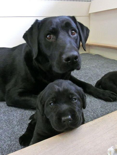 Mom And Daughter Schwarzer Labrador Welpen Schwarzer Labrador Retriever Und Niedliche Hunde