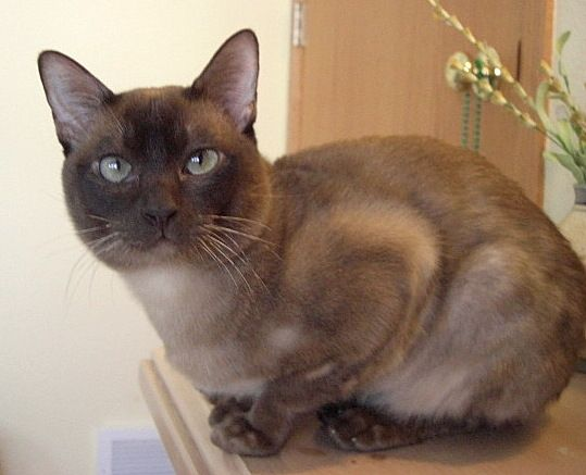 Nothing Found For Available For Adoption 9 Tonkinese Cat Cats And Kittens Cute Cats