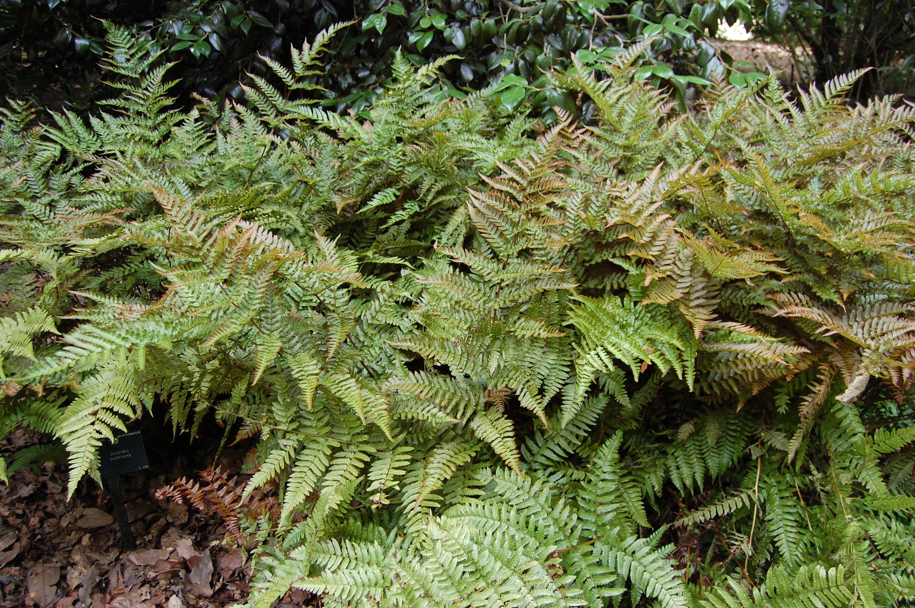 """Euphorbia ammak golden variegated Breath Taking 12"""" Tall 2"""