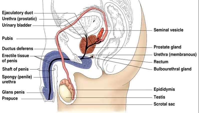 Male reproductive system | Reproductive system | Pinterest ...