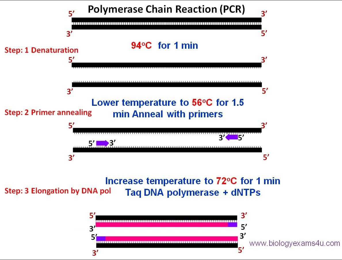 Polymerase Chain Reaction Pcr Steps Requirements And Applications