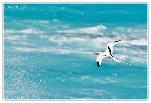Bermuda Longtail I