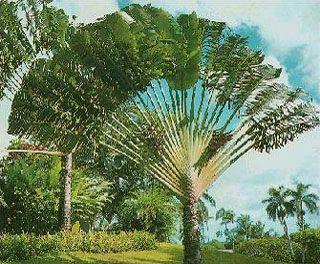 Ravenala Madagascariensis - (Travelers Palm Tree):  30'-40', hardy to 20 degrees (zone 9a)