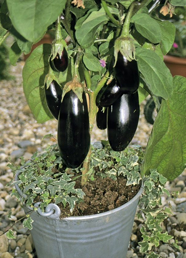 This Year I Want To Try Eggplants In A Container.