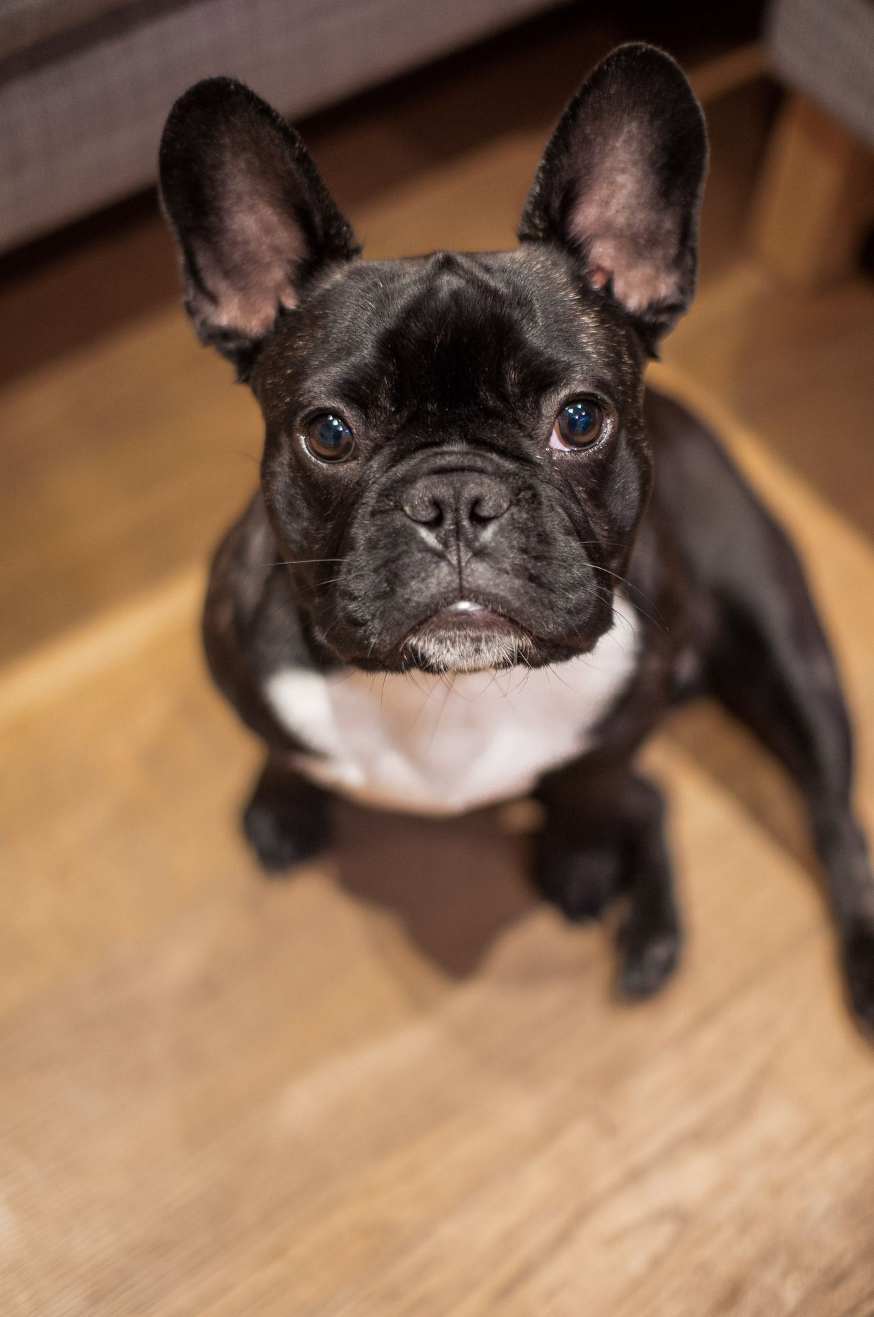 Pin by Robin W on Frenchie love French bulldog