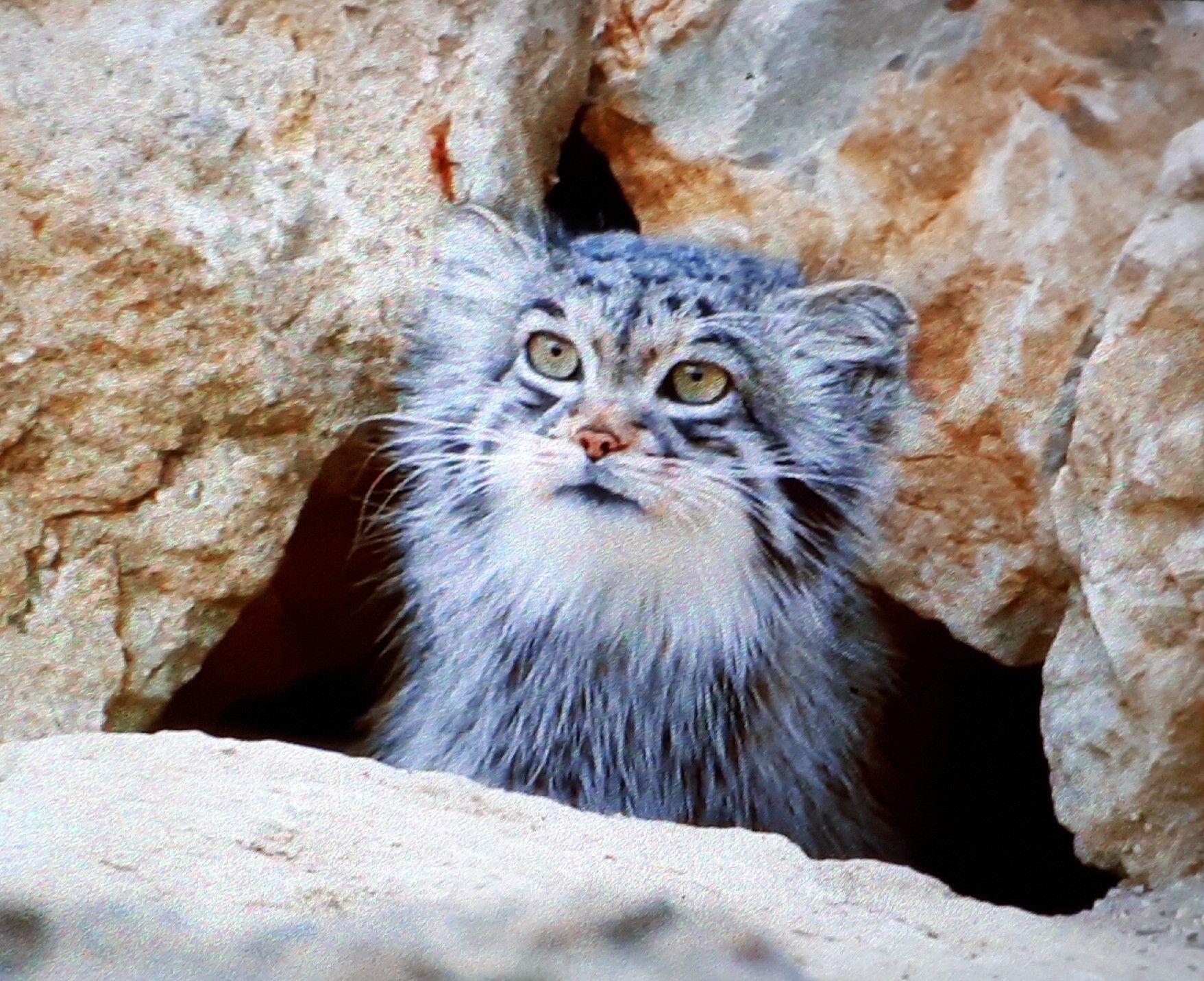 Chat de PAllas.Népal. Serval cats, Black footed cat