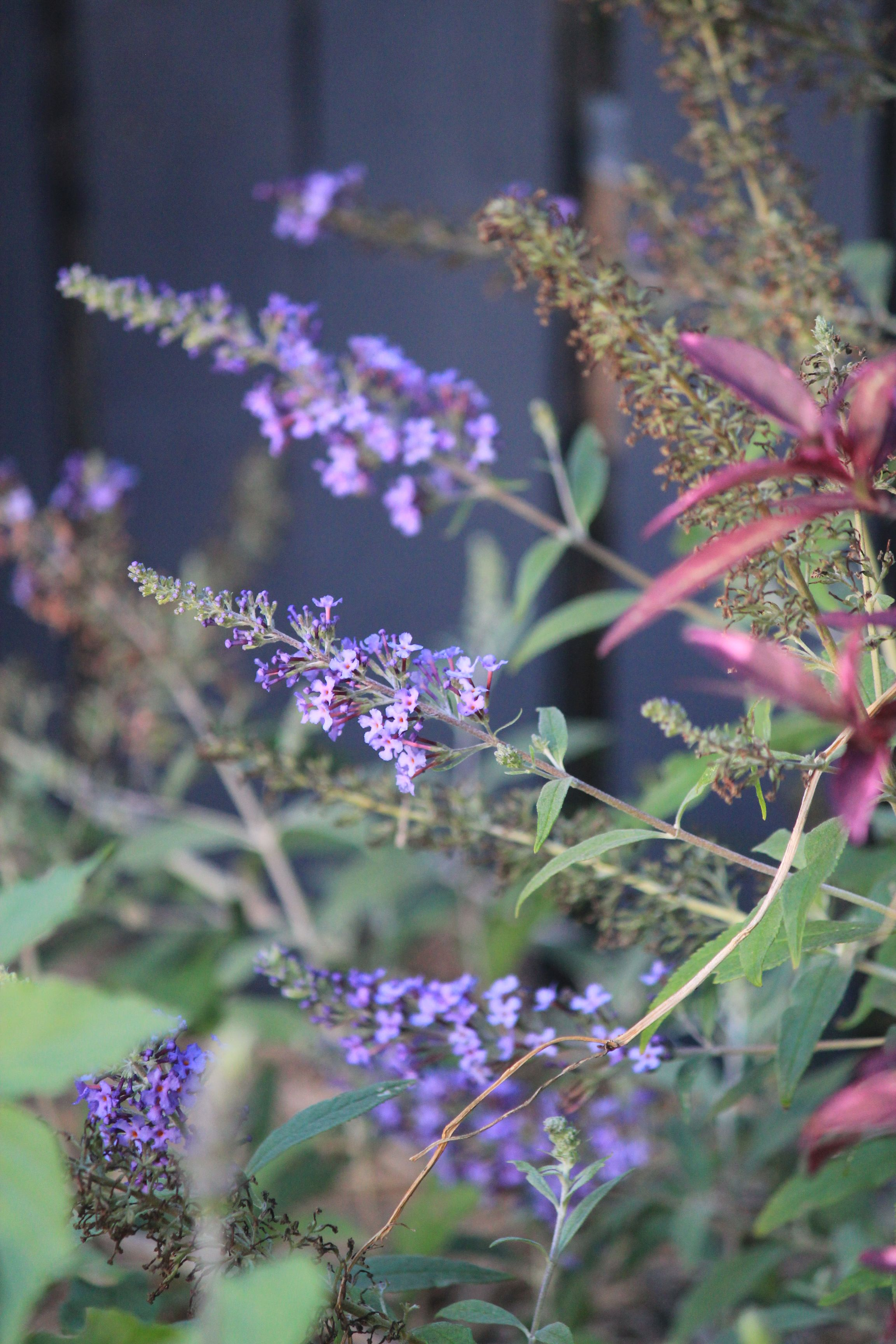 Buddleja In The Garden Butterfly Attracting Plant Qld Birds Bees Butterflies Plants That Attract Butterflies Plants